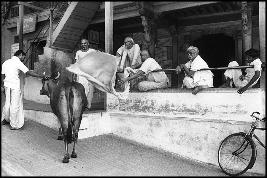 Brahmin priests playing with a cow, Ahmedabad, Gujarat, 1978