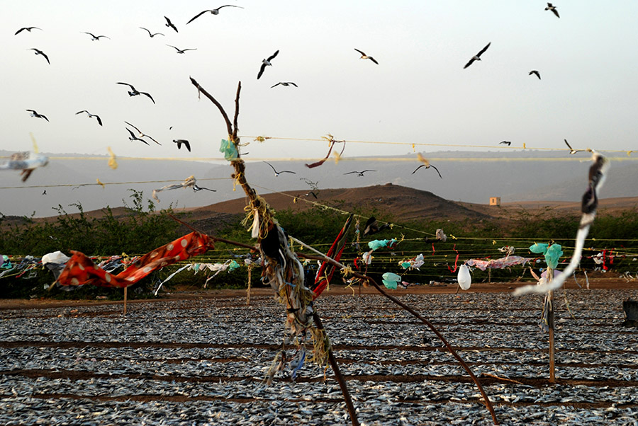 Sardines drying, Dhofar, Oman, 2007